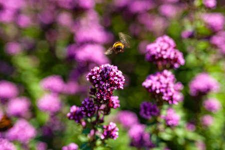 Close up Violet Garden Flowers