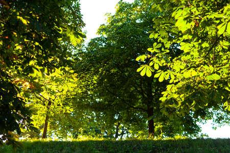 chestnut leaves against blue sky in summer