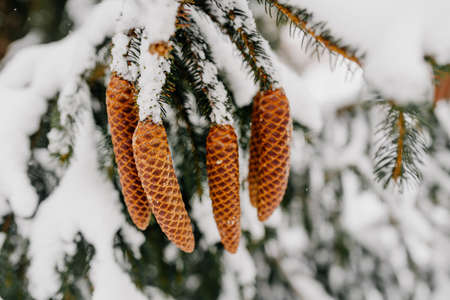snow-capped cones on a spruce