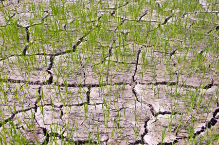 Rice seedlings germinated on the ground to dry in the summer. Stock Photo