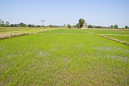 Rice growing in the water field, Thailand.