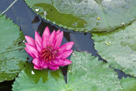 Lotus roses fleurissent.