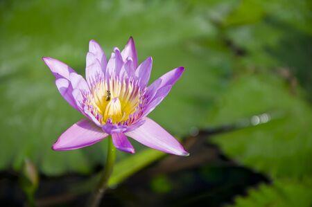 Purple lotus blooming . photo
