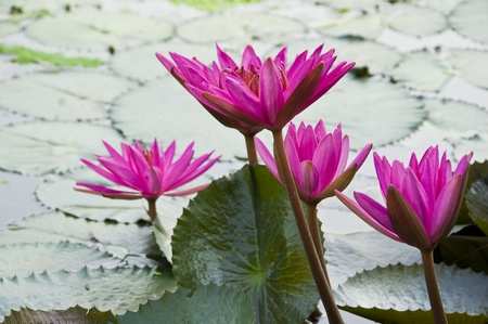 Pink Lotus blooming . photo