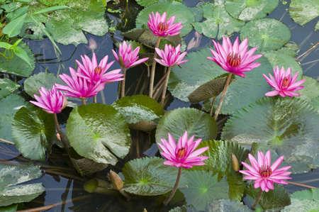Pink Lotus blooming on water background .