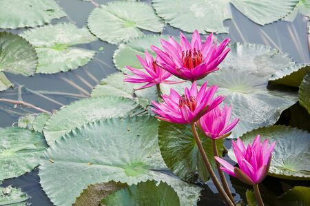 Pink Lotus blooming on water background with leaves and its bud.