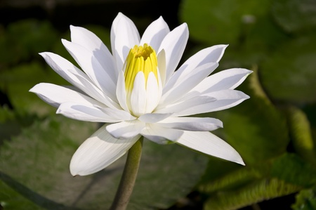 White lotus blossom.