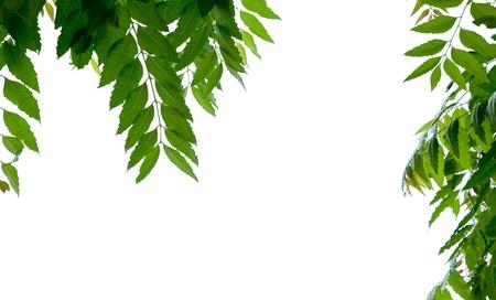 feuille de neem sur fond blanc