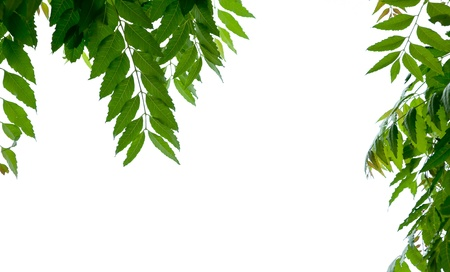 neem: neem leaf on white background