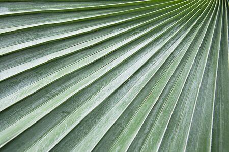 La nature et la structure des feuilles de palmier.
