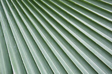 Le naturel et feuilles de patron vert de palm.