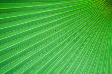 naturelles et le mod�le de feuille de palmier verte Banque d'images