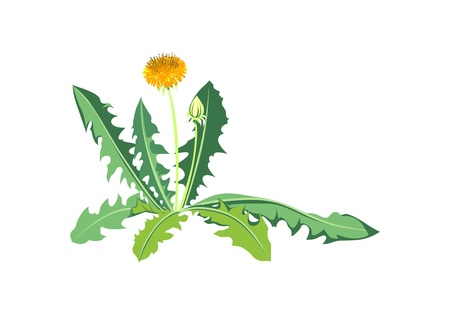 Flowers dandelions with green leaves Stock Vector - 13914376