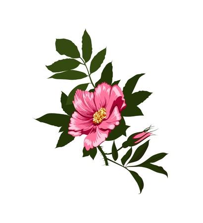 wild  rose: rosa canina fiore su uno sfondo bianco