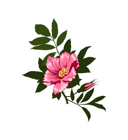 1 object: wild rose flower on a white background