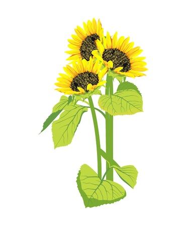 graine tournesol: beau bouquet de tournesols isol� sur fond blanc Illustration