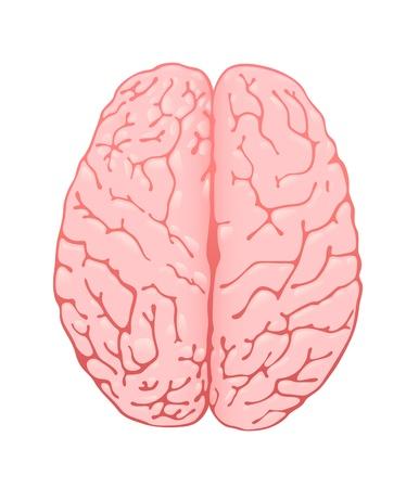 cerebros: el cerebro de color rosa una vista desde arriba