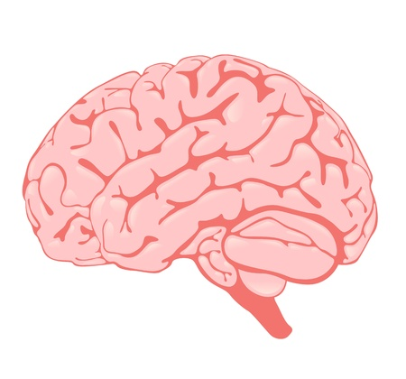 pink brain the side view Vector