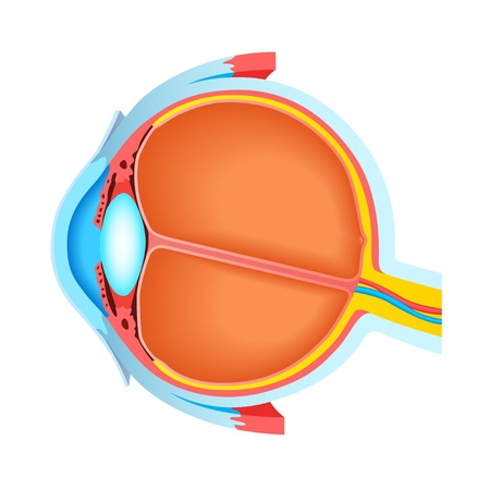 Cross section of human eye Vector