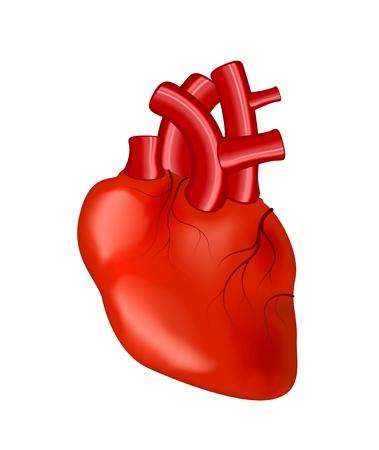 blood flow: Cuore Umano