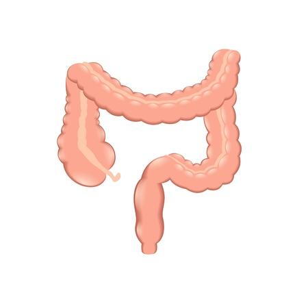 intestino: colon saludable Vectores