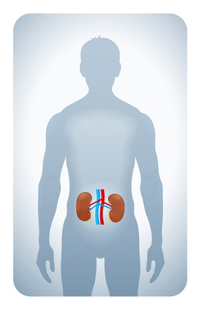 stomach pain: kidneys highlighted on the silhouette of a man Illustration