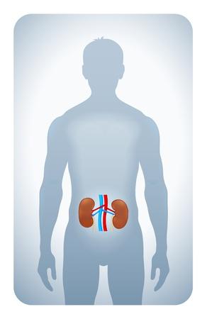 urinario: reni evidenziata la sagoma di un uomo