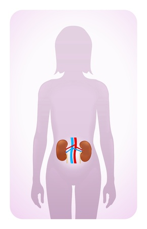 illustration infected: kidneys highlighted on the silhouette of a woman