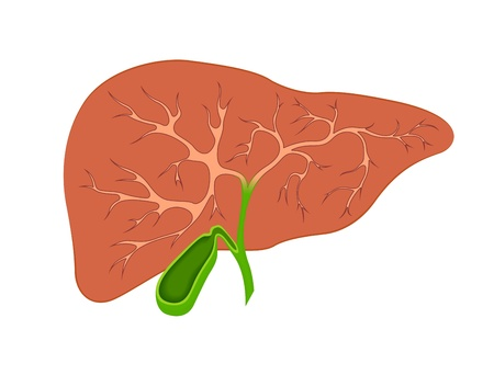 hepatic: liver and gall bladder in the context Illustration