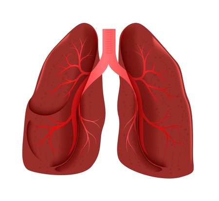 respiratory: lungs anatomy Illustration