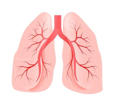 poumon humain: poumons de la personne