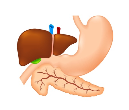 human liver: stomach, liver and pancreas Illustration