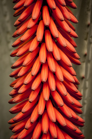 aloe flower: plant in a park in Barcelona. Aloe flower