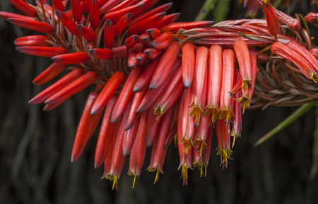 clustered: plant in a park in Barcelona. Aloe flower
