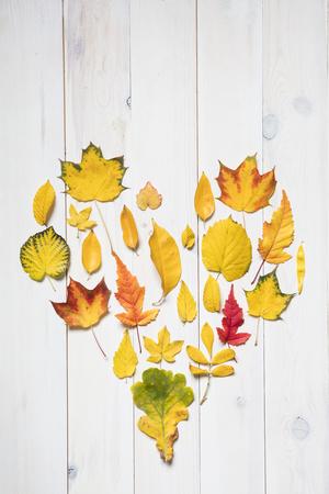 plants species: foglie colorate autunnali a forma di cuore. pianeggiante