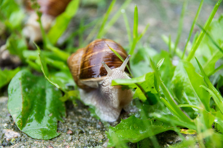closeup on an edible snail (Roman snail, burgundy snail, escargot) eating grass after rain