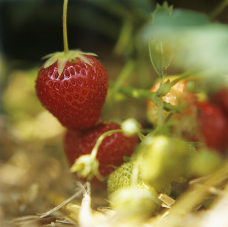 x country: A Strawberry Plant
