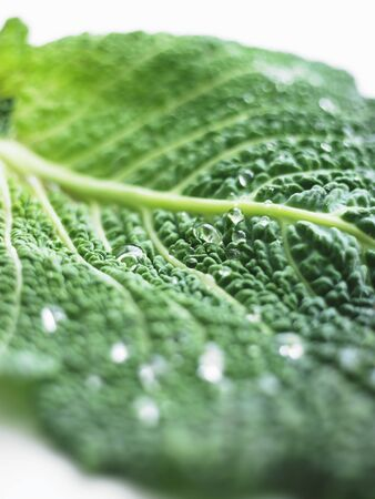 savoy cabbage: A freshly washed savoy cabbage leaf (close-up)