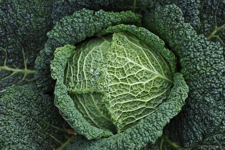 cabbage patch: Savoy cabbage in a vegetable patch, seen from above (close-up)