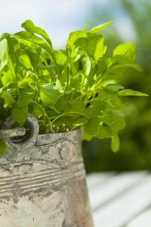 arugola: Rocket in a flower pot