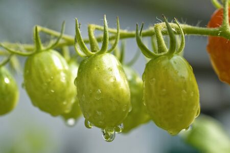 watered: Many Unripe Grape Tomatoes on the Vine; Freshly Watered
