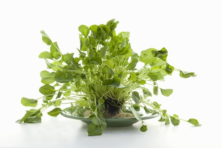 water cress: Organic Watercress with Roots on a Plate