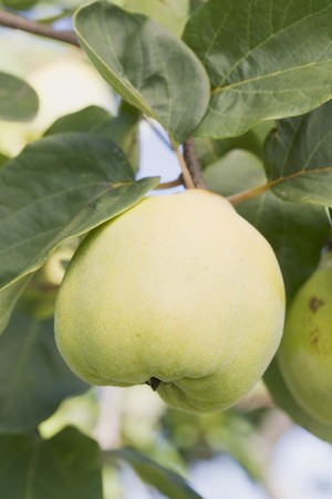 quinces: Quinces on the tree