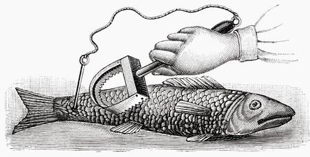 scaler: Scaling fish (illustration)