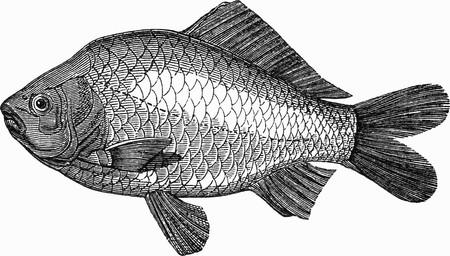 crucian carp: Crucian carp (illustration)