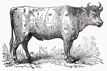 buey: Buey (ilustraci�n) LANG_EVOIMAGES