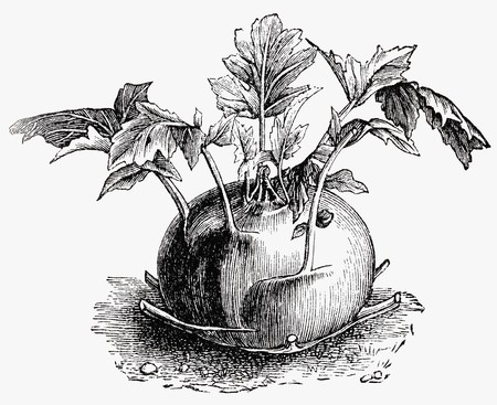 rabi: Kohlrabi (illustration)