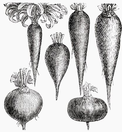 root vegetables: Varie verdure a radice (illustrazione)