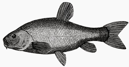 tinca tinca: Tench (illustration)
