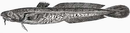 burbot: Burbot (illustration)